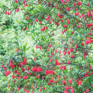 Grey Abbey Crinodendron