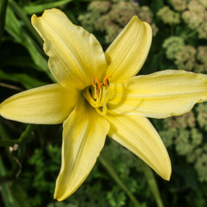 Grey Abbey Day Lily