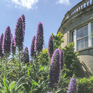 Grey Abbey Echiums in the Sunken Garden