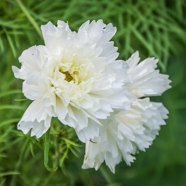 Grey Abbey white Carnation