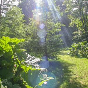 Grey Abbey woodland & Gunera