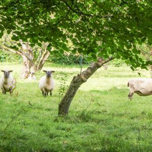 Shropshire Sheep at Grey Abbey