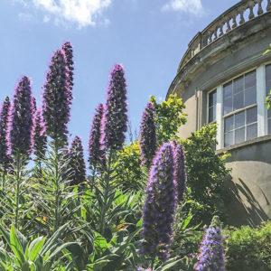 Grey Abbey Echiums in the Sunken Garden
