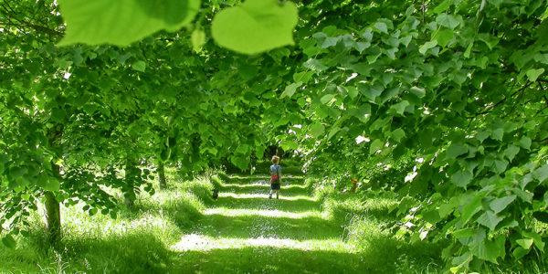 Grey Abbey Lime tree avenue