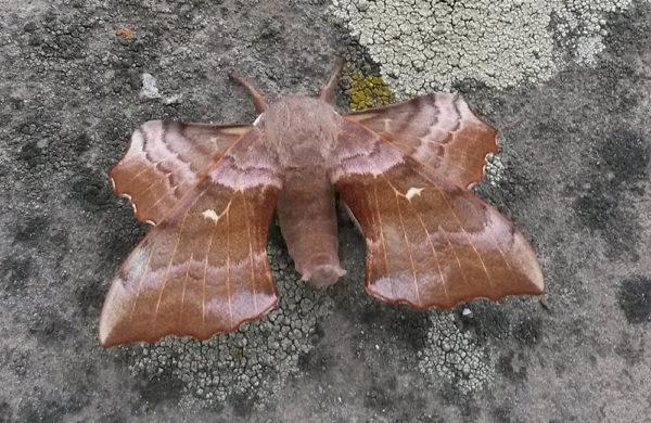 A male Poplar Hawk-moth (buff variety) at rest on Grey Abbey House