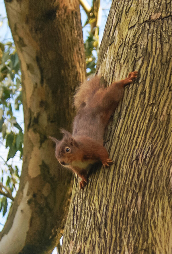 A Red Squirrel | Sciurus vulgaris at Grey Abbey House